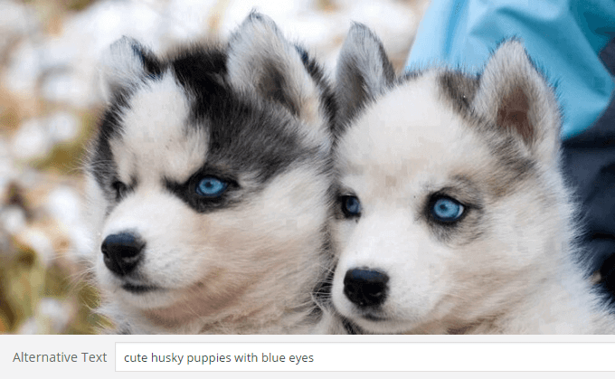 cute husky puppies with blue eyes